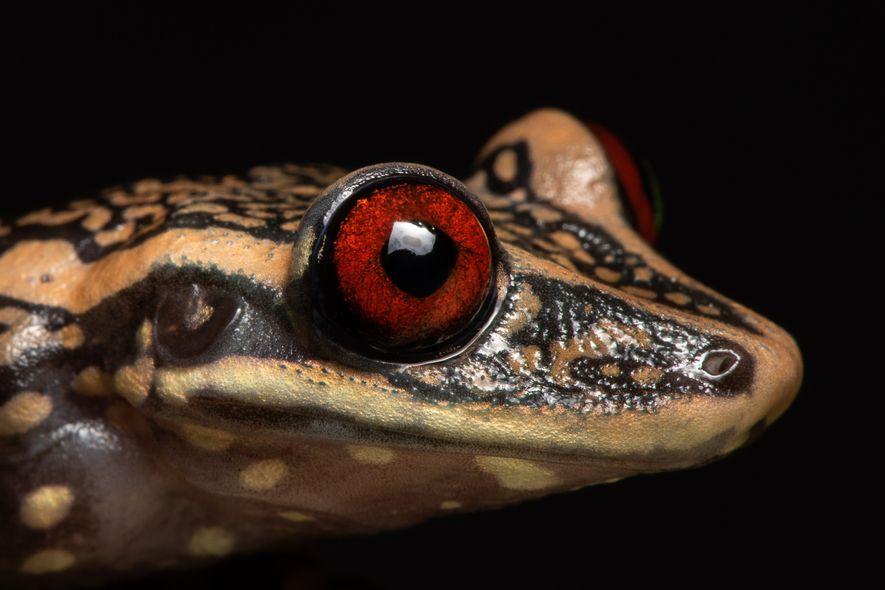 Perereca-de-capacete do Rio Pomba - Aparasphenodon pomba