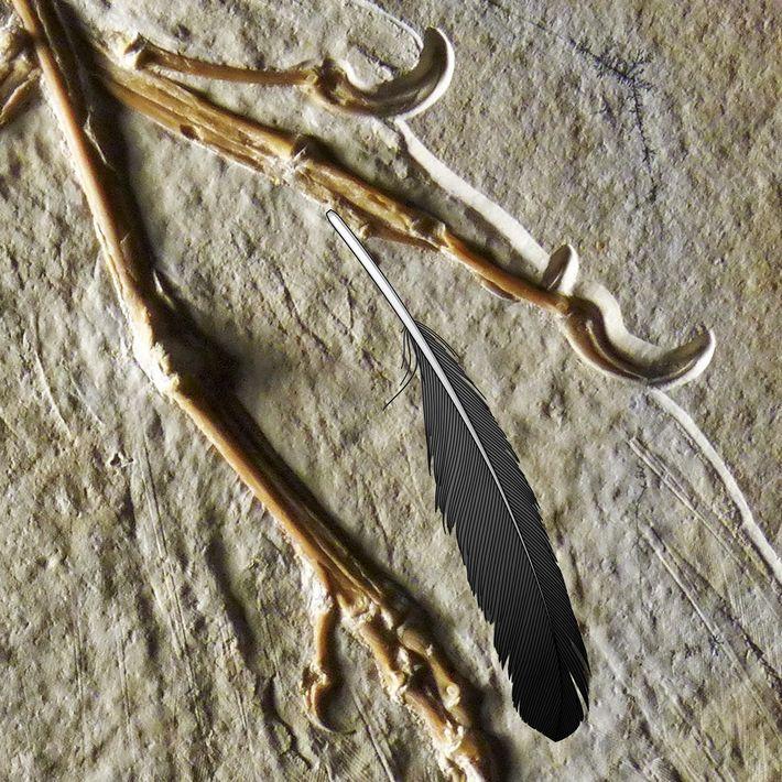 O espécime de Archaeopteryx de Altmühl possui marcas das penas do animal. Quando a equipe sobrepôs a imagem ...