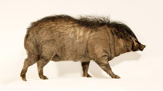 Todos os anos, os machos da espécie Sus cebifrons exibem um penteado maleável irresistível às fêmeas.