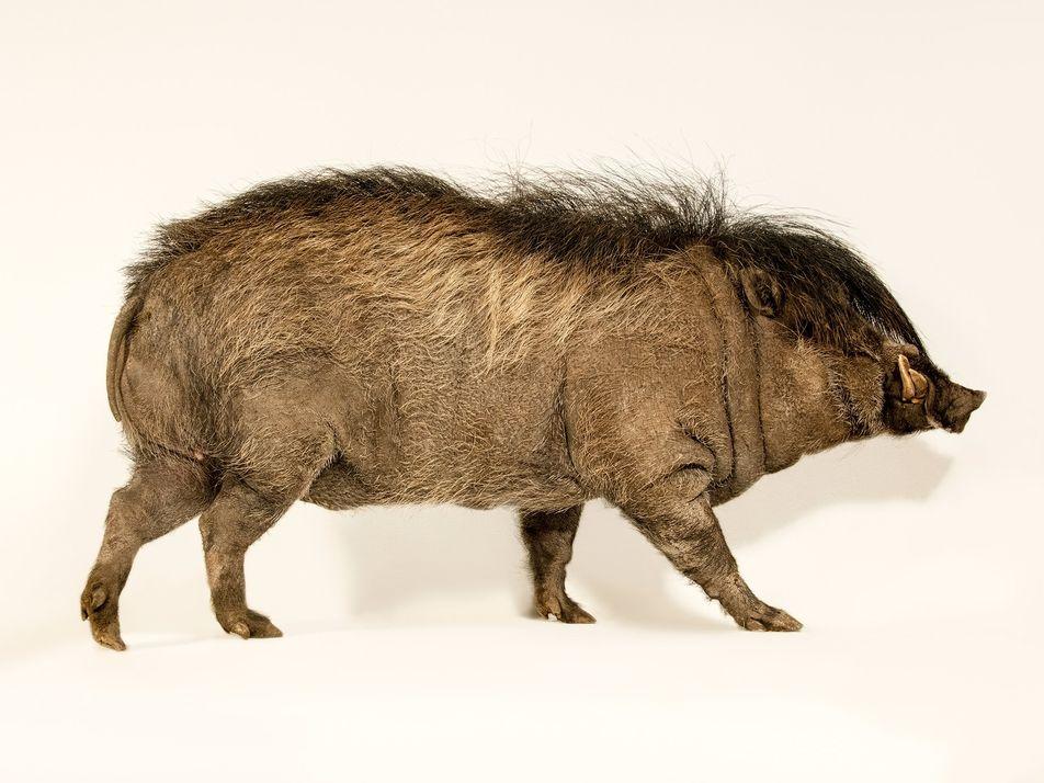Conheça o porco ameaçado de extinção e seu moicano digno de uma estrela do rock'n'roll