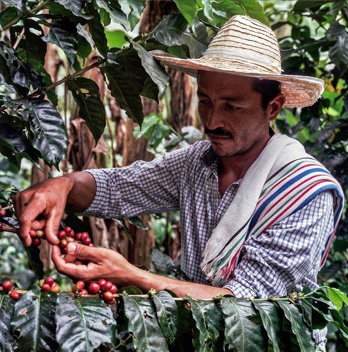 Dando continuidade à retomada da cultura cafeeira em Caquetá