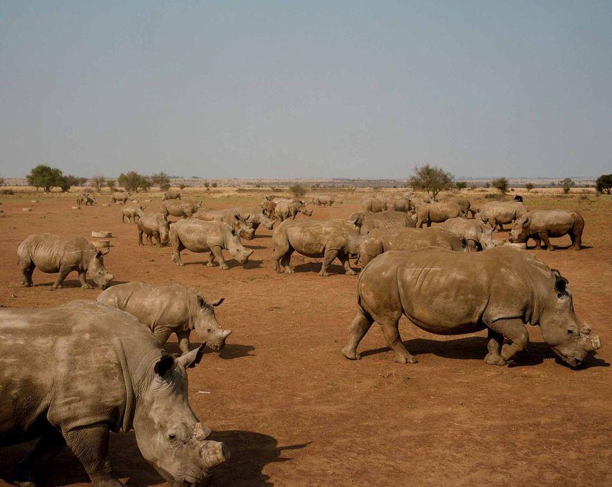 Rinocerontes pastam nas terras de John Hume em Klerksdorp, África do Sul. John é proprietário damaior ...