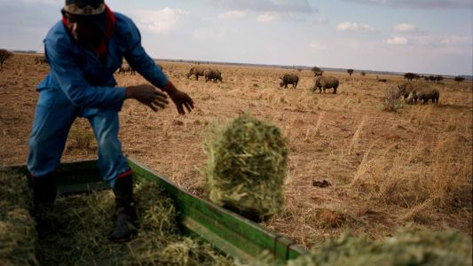 A criação de rinocerontes e a corta de seus chifres na África do Sul