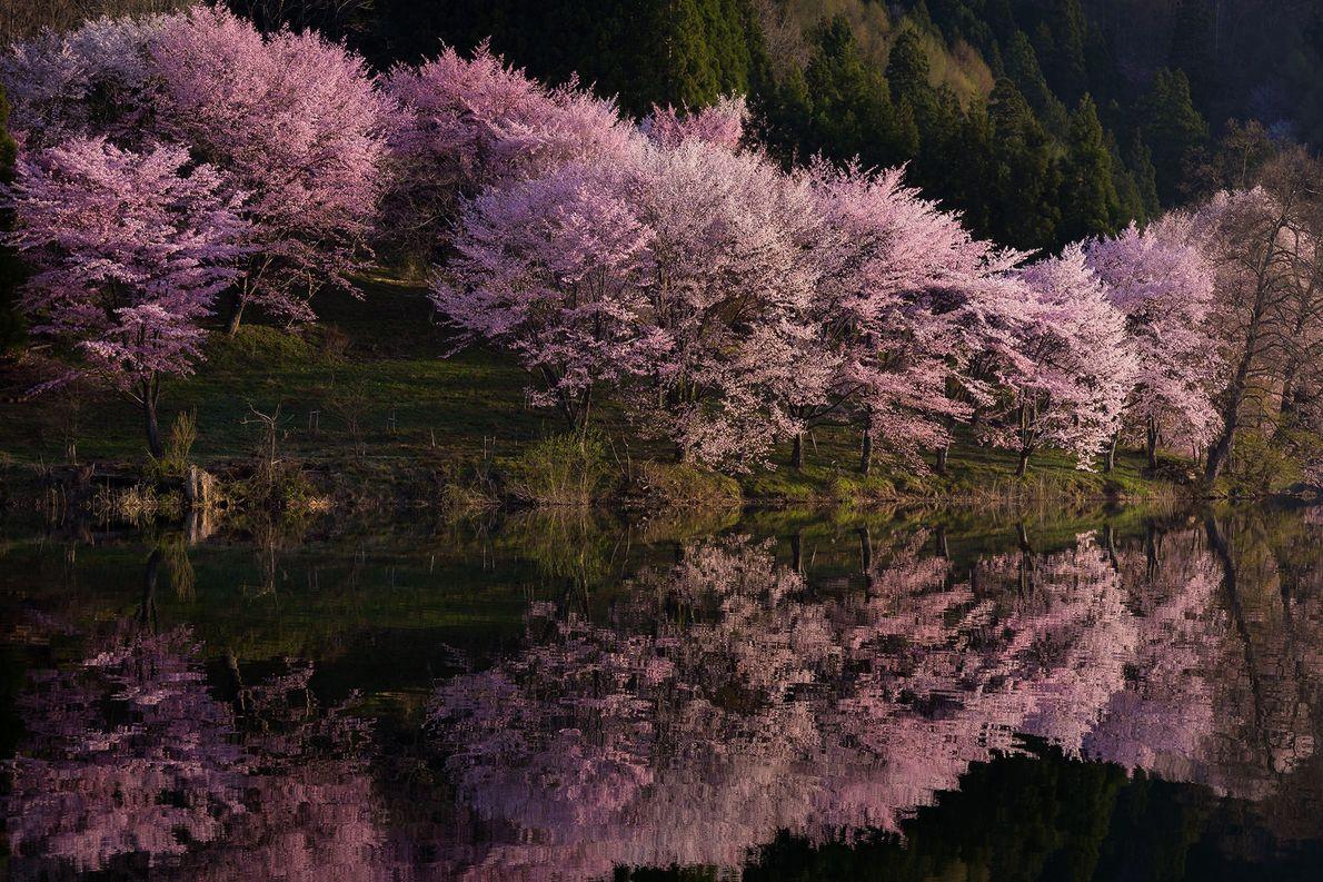 Com mais de 200 variações de cerejeiras ornamentais, as flores de cerejeira do Japão possuem uma ...