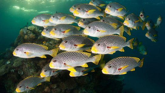 Cardumes da espécie Plectorhinchus chaetodonoides nadam na Grande Barreira de Coral da Austrália, uma das nações ...