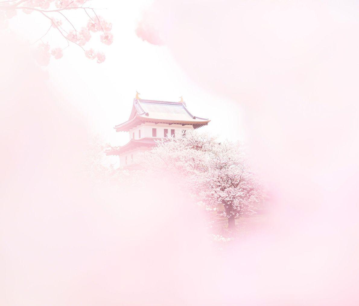 Simbolizando a renovação, a esperança e a brevidade da vida, as flores de cerejeira trazem a ...