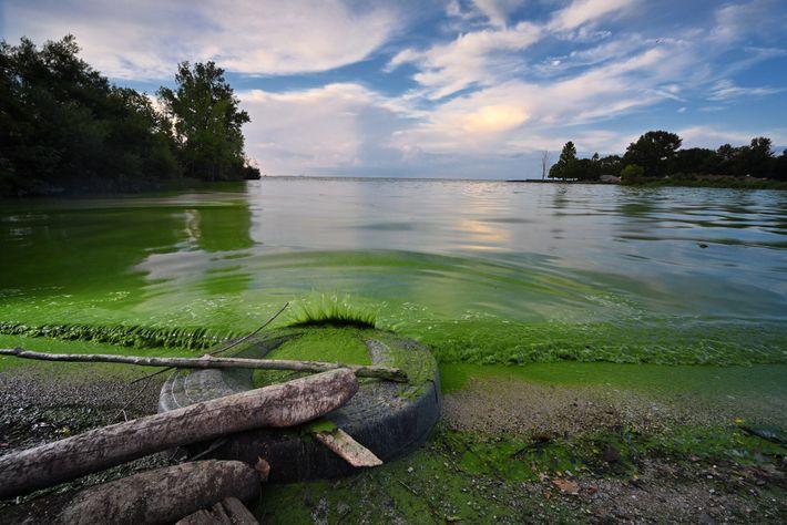 As espécies do gênero Daphnia, que compõem o plâncton ameaçado pela pulga d'água espinhosa, se alimentam ...