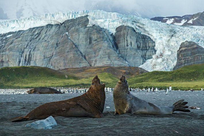 Os elefantes-marinhos podem chegar a seis metros de comprimento e pesar até quatro toneladas. Cerca da ...