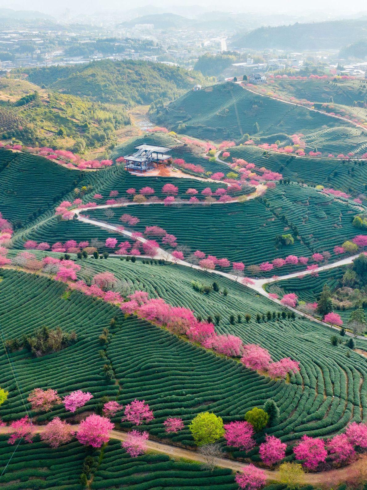 As terras verdejantes e as copas das árvores em cor rosa-flamingo dão à região de Fujian, ...