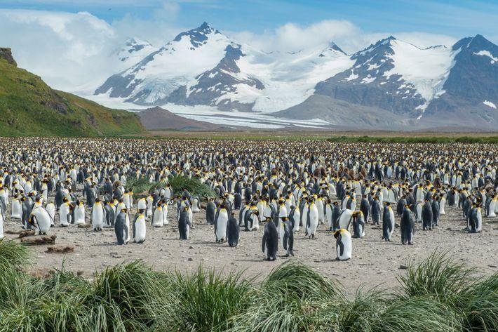 Uma grande colônia de pinguins-rei em um vale montanhoso na ilha da Geórgia do Sul. Se ...