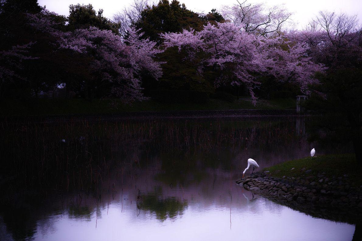 Ohantai captura um calmo momento primaveril em Kyoto. Um dos melhores lugares para ver as flores ...