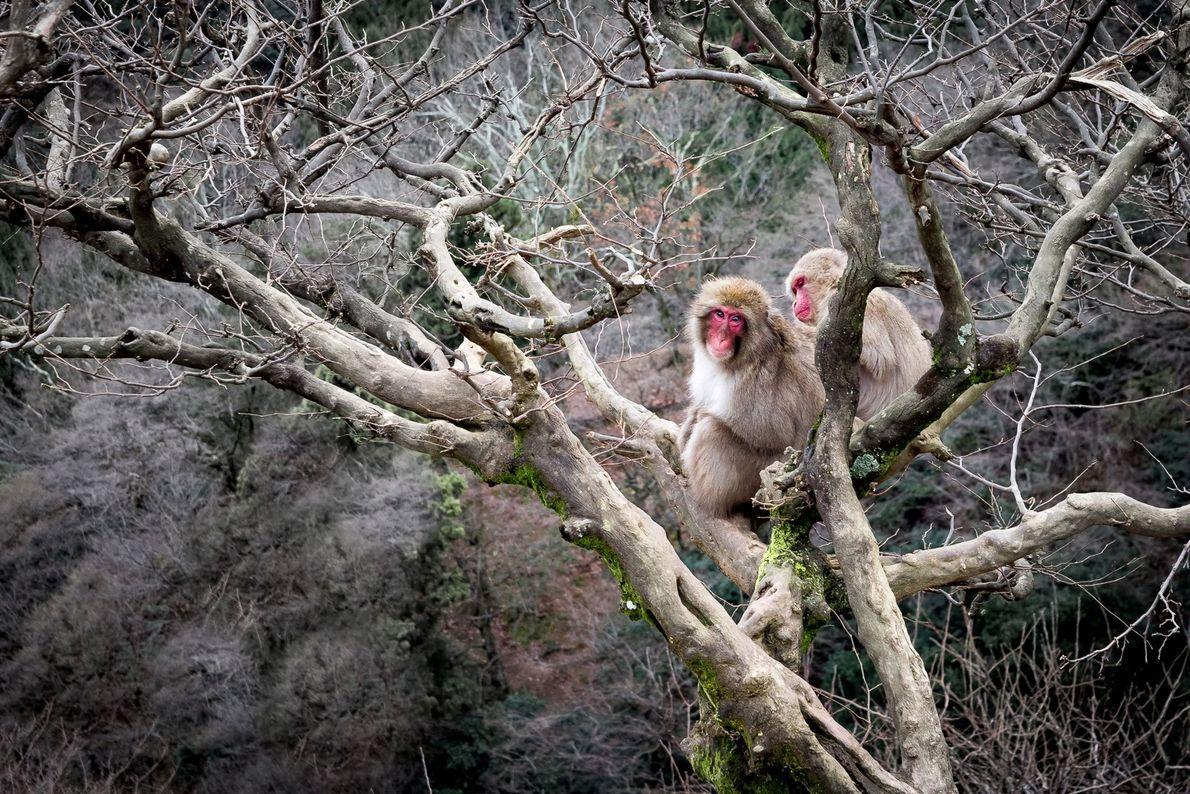 Dois macacos japoneses (ou macacos-fuscata) em atividade de catação. Um grupo de mais de 170 macacos ...
