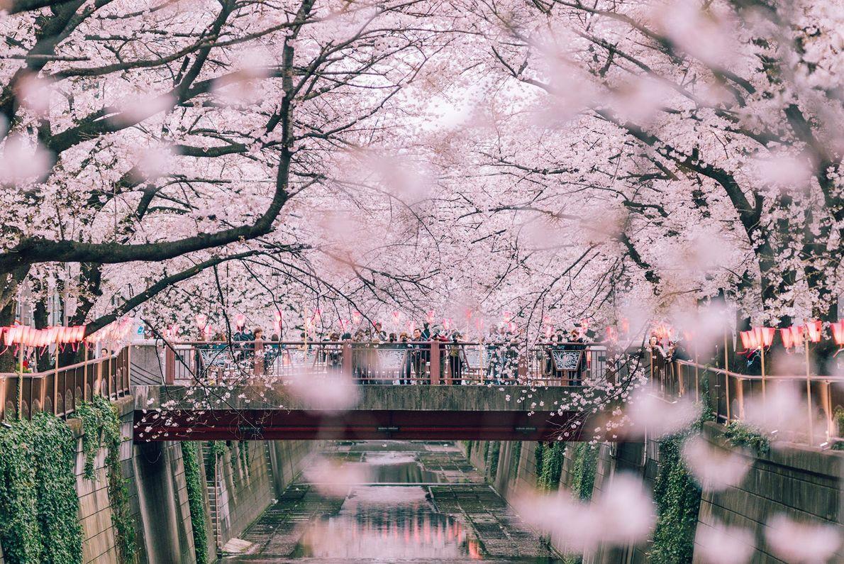 Esse espaço conta com mais de 800 cerejeiras em plena floração junto ao Rio Meguro. Uma ...