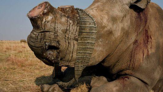 Com o comércio de chifres de rinocerontes legalizados na África do Sul, o maior criador do ...
