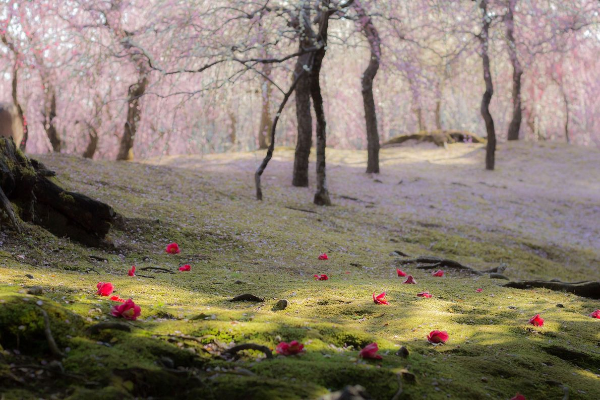 Pétalas da flor de cerejeira e camélias forram o gramado verdejante de um dos muitos jardins ...