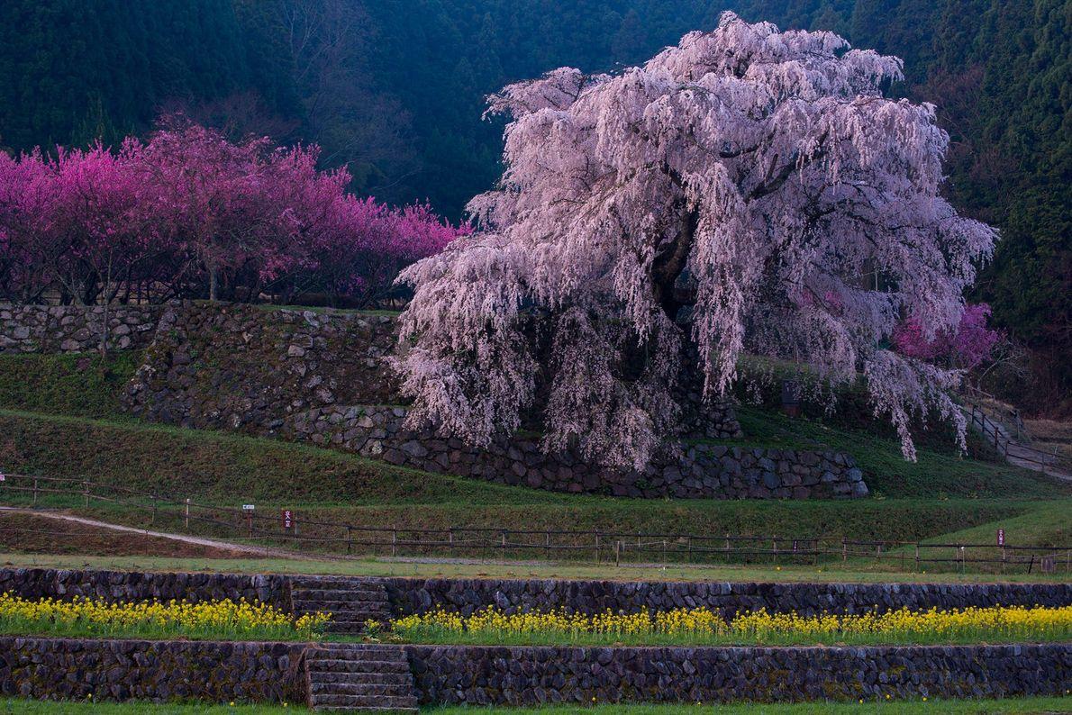 Kaneko escreve que, de acordo com a lenda, essa cerejeira curvada é onde jaz o guerreiro ...