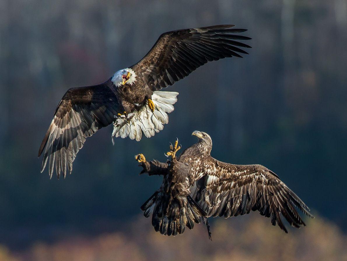 galeria-de-fotos-animais-em-acao-aguia-careca
