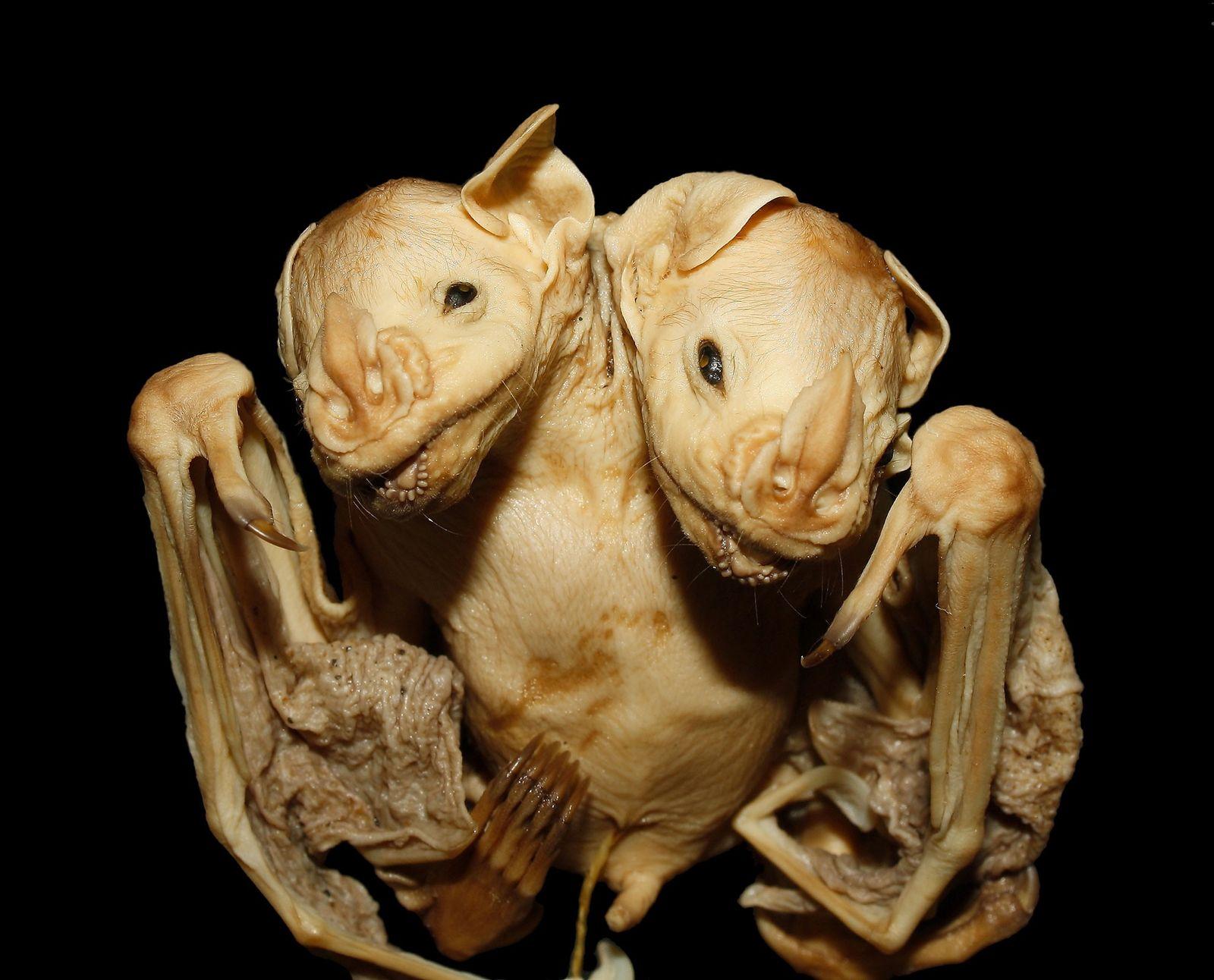 Morcego de duas cabeças