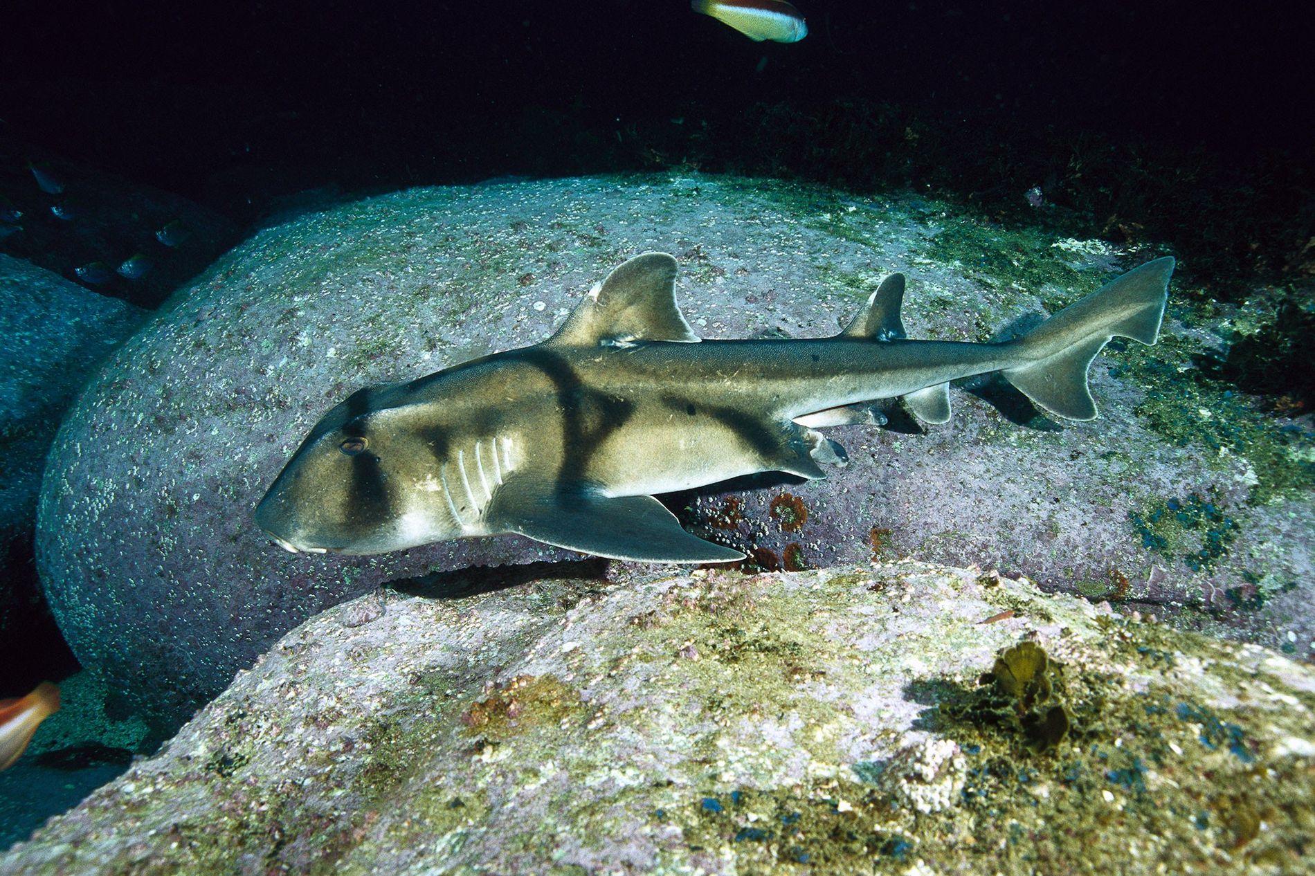 Um tubarão-de-Port-Jackson nada em Nova Gales do Sul