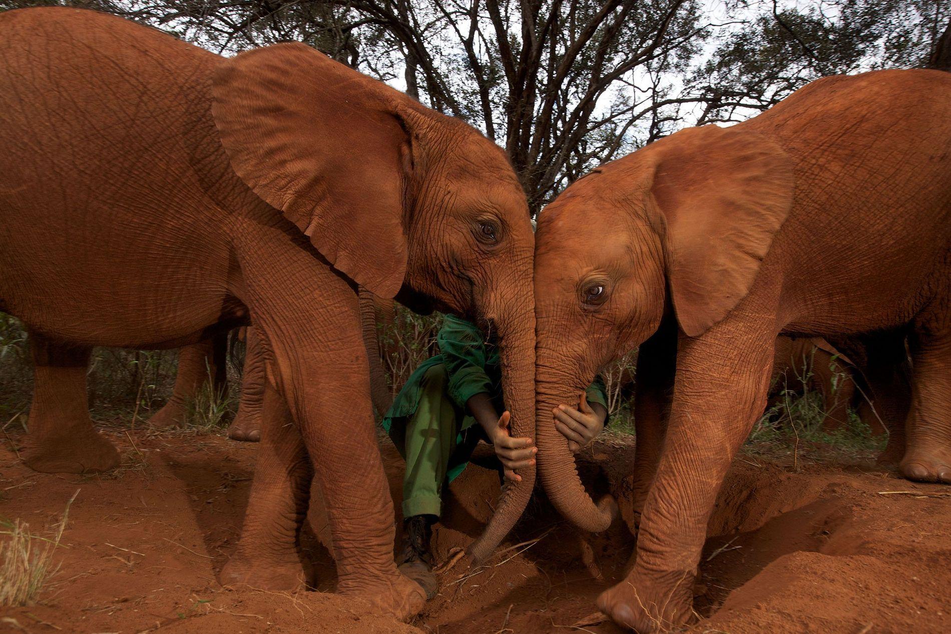 Considerando o tamanho e a longevidade dos elefantes, eles possuem um índice de câncer surpreendentemente baixo. ...