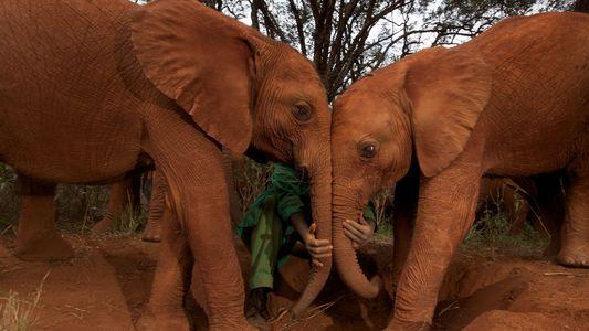 """Elefantes raramente sofrem de câncer. Motivo pode ser um gene """"zumbi"""""""
