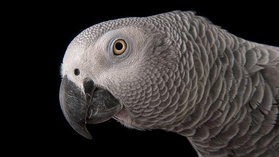 Papagaios-cinzentos (na foto, uma ave do zoológico de Dallas, nos EUA) têm a incrível habilidade de ...