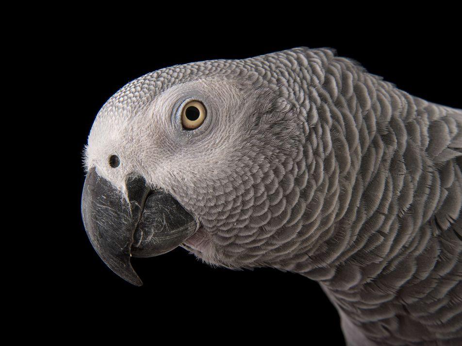 Este papagaio fala como a gente, mas estamos prestes a silenciá-lo