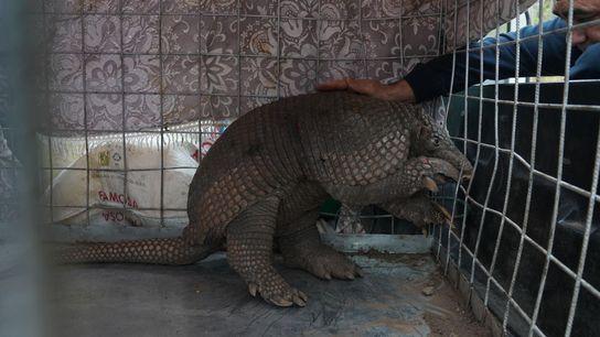 Esse tatu é um dos 70 animais resgatados das zonas de queimadas perto de Santa Cruz, ...