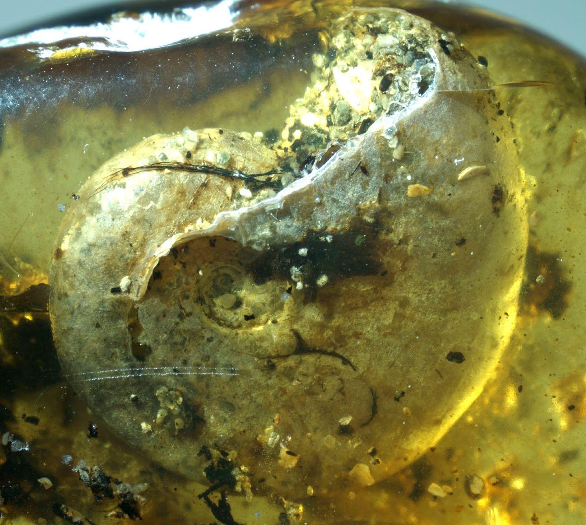 Há muito tempo, durante o período Cretáceo, essa concha pertenceu a um tipo de molusco marinho ...