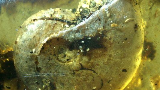 Antiga criatura marinha ficou fossilizada na resina de uma árvore. Mas como isso aconteceu?