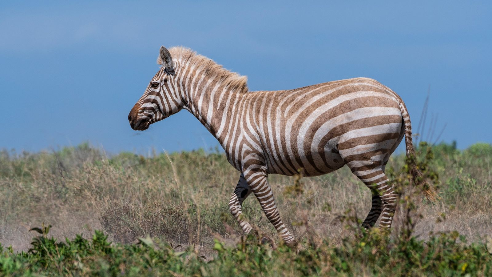 Uma zebra extremamente rara com albinismo parcial caminha por um vale no Parque Nacional de Serengeti. ...