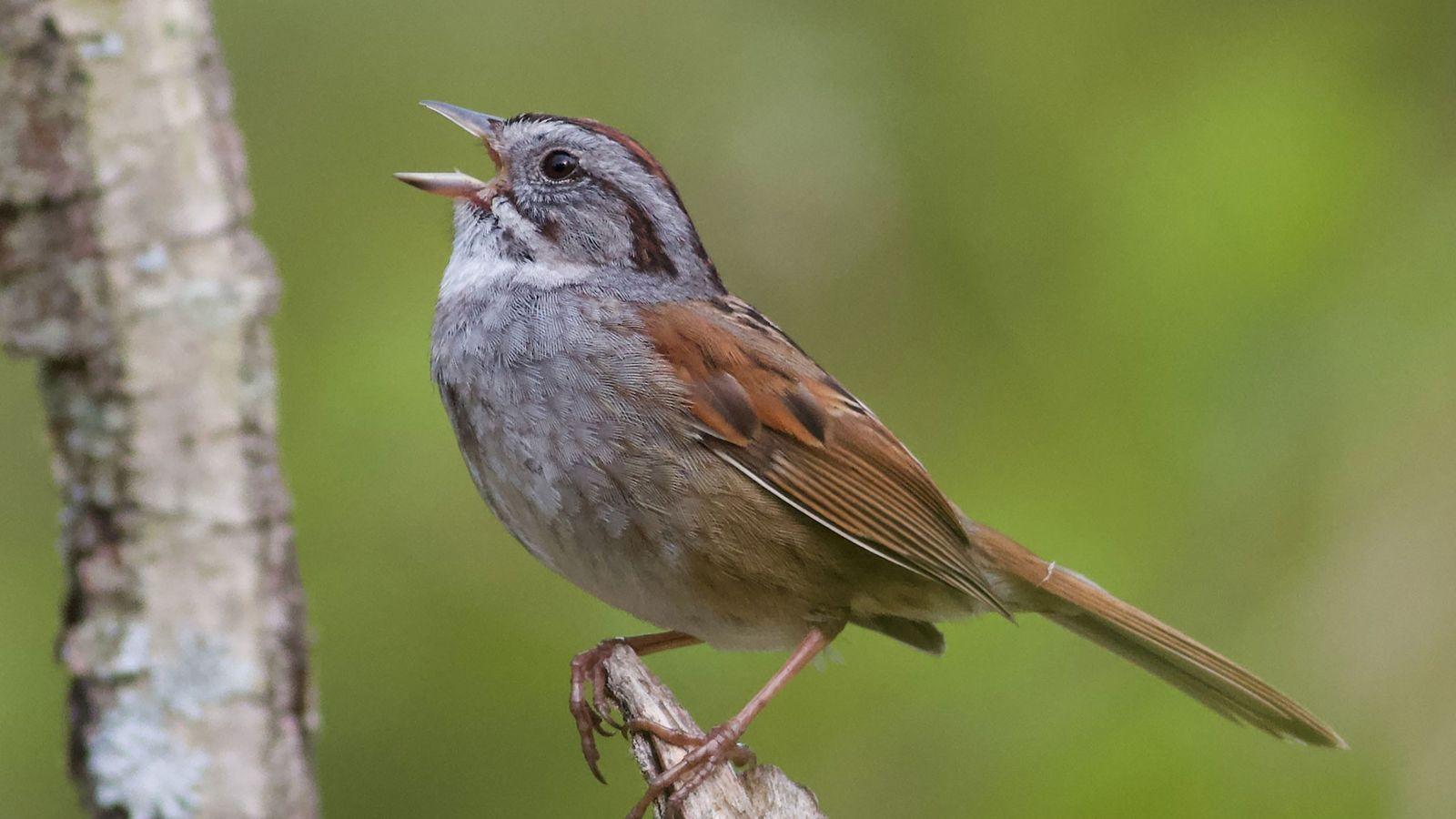 Um tico-tico-dos-pântanos macho canta uma antiga melodia.