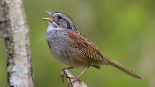 Conheça o pássaro que canta a mesma música há mil anos