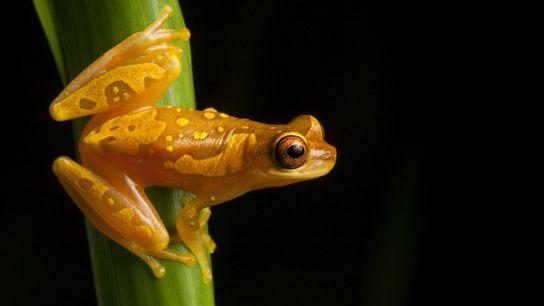 Muitos anfíbios, como o da espécie Dendropsophus ebraccatus, mostrado na foto na Costa Rica, carecem de ...