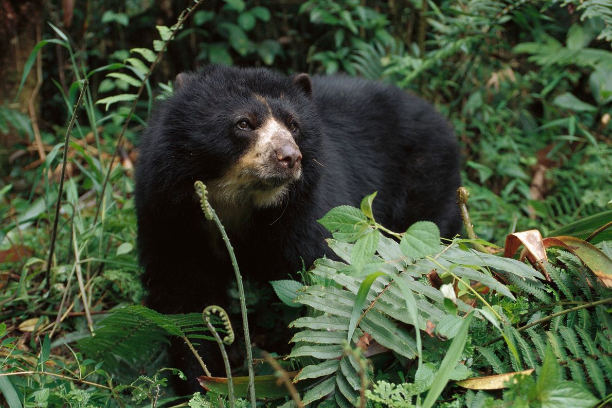 Illegal hunting threatens South America's only bear species