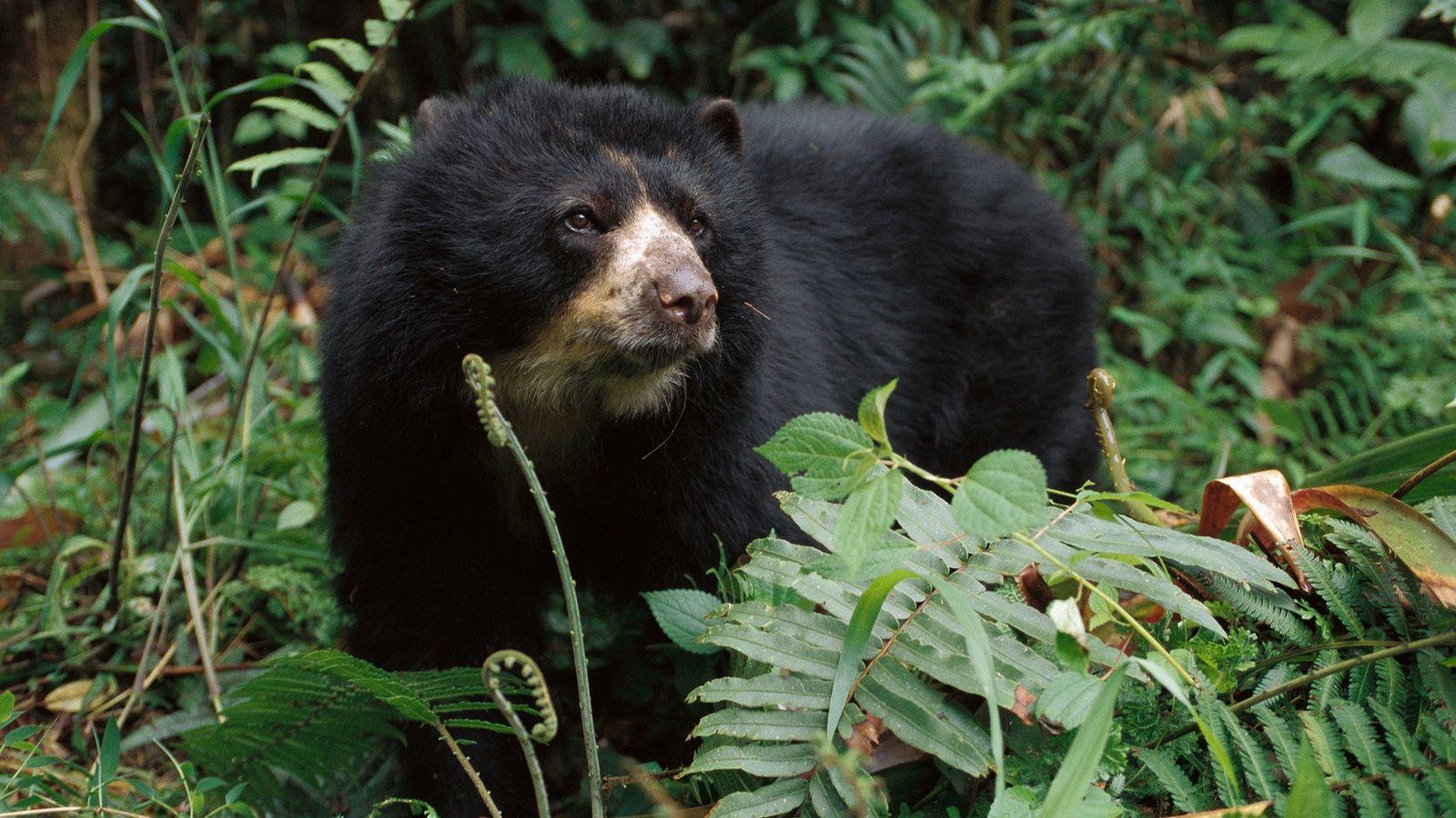 Os ursos-de-óculos, também chamados de ursos-andinos, são mortos ilegalmente no Peru por causa de suas partes ...