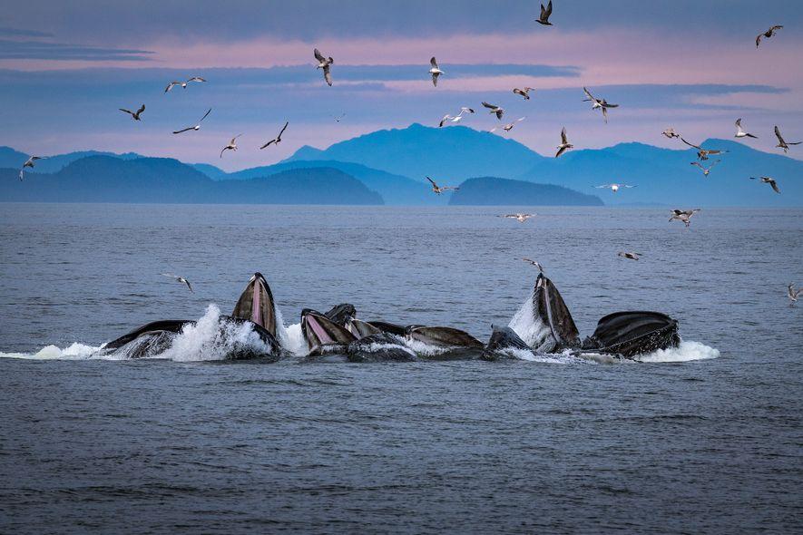 Baleias-jubarte criam redes de bolhas perto do Alasca, onde o comportamento é frequentemente observado e estudado.