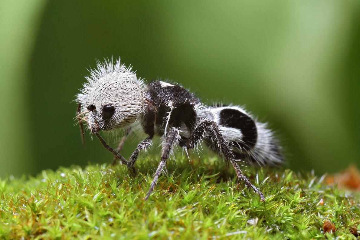 """Formiga-panda: Embora esses insetos preto e branco façam parte de um grupo chamado formigas-de-veludo, esses """"pandas"""", ..."""