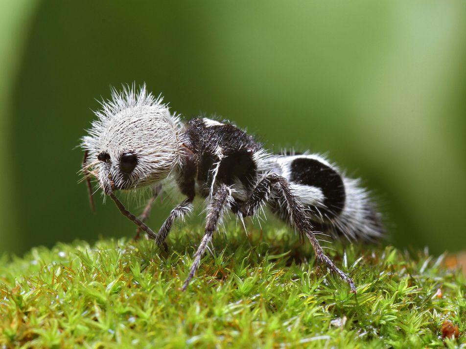 Formiga-panda ou mosca-abelha? Conheça 6 animais que se apropriam da aparência de outros bichos