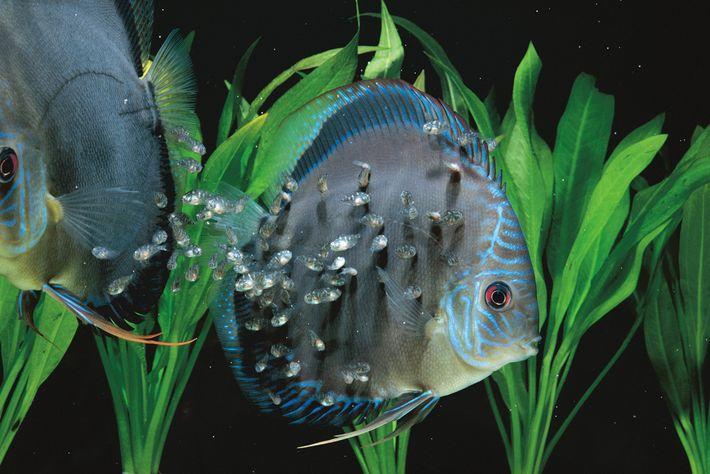 Os filhotes de acará-disco-azul (Symphysodon aequifasciatus) se alimentam de muco dos corpos de seus pais no ...