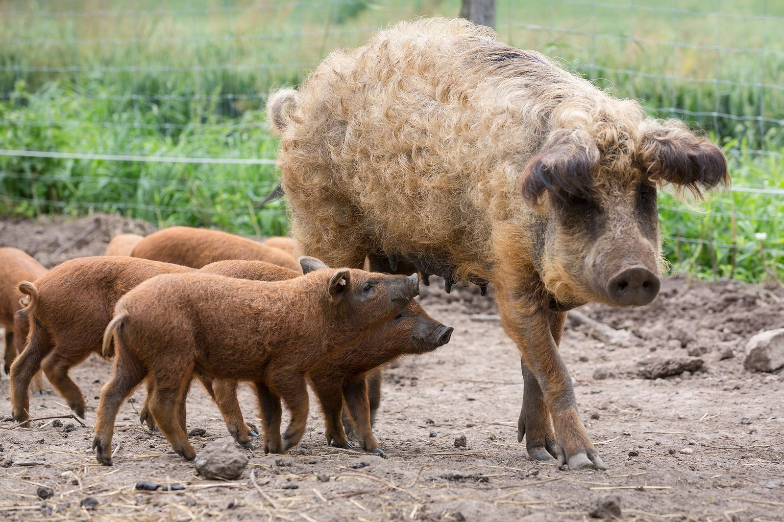 Leitões mangalitsa, também chamados de porcos-ovelha, seguem a mãe na Alemanha.