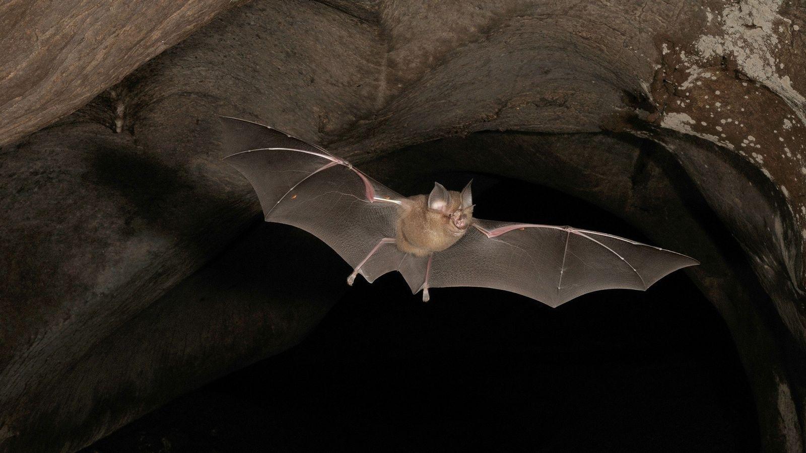 Em 2013, cientistas descobriram que o morcego da espécie Rhinolophus affinis é portador de um coronavírus ...