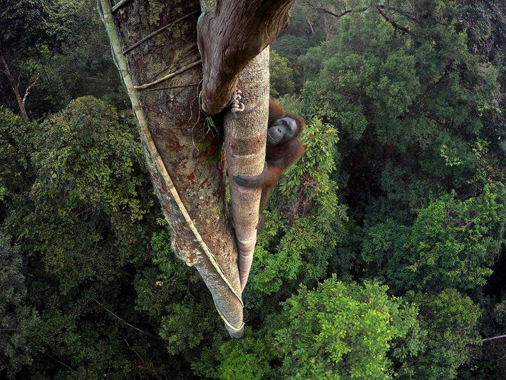 Tentado pelo fruto da figueira, um orangotango-de-bornéu escala 30 metros. Bornéu, Indonésia