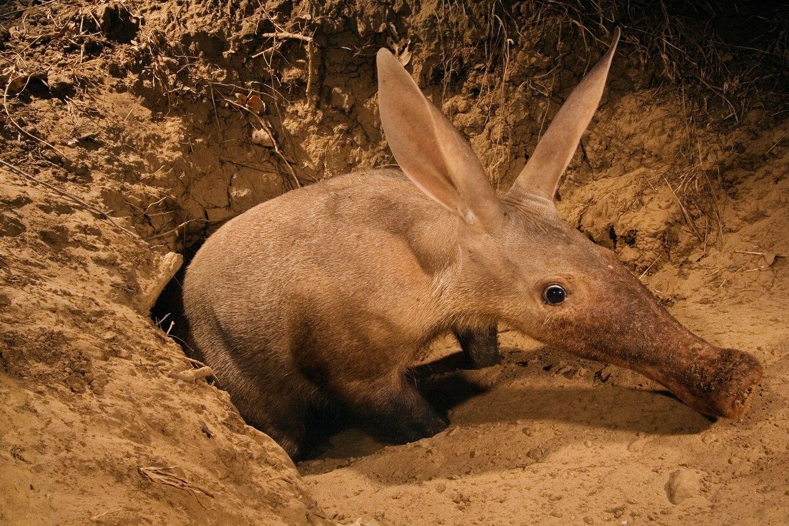 Um porco-da-terra levanta do chão no Vale Luangwa, Zâmbia. Esses mamíferos sem similares são parentes de ...