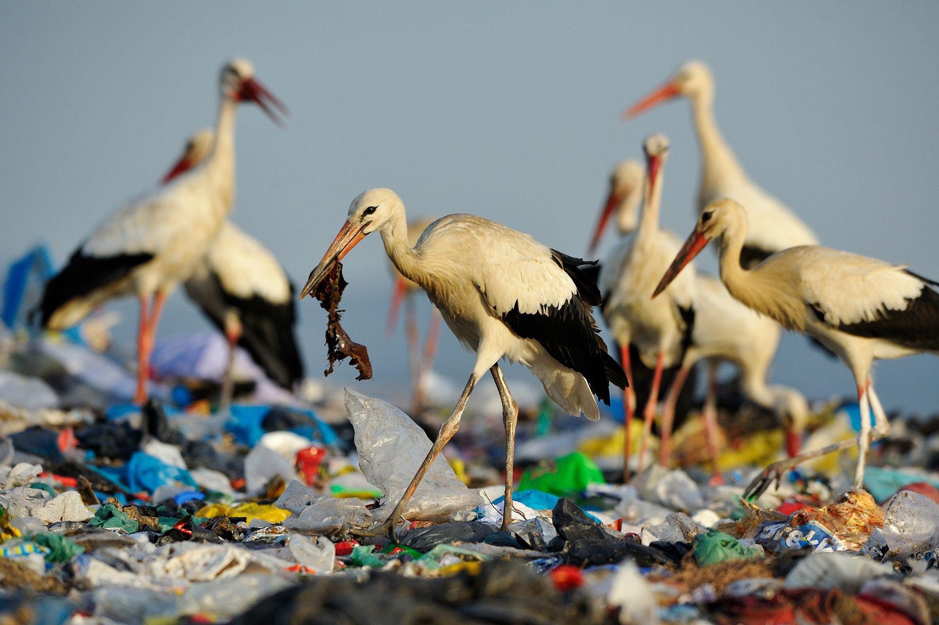 Cegonhas-brancas buscam alimento em um aterro na Espanha. A quantidade de lixo é tanta que as ...