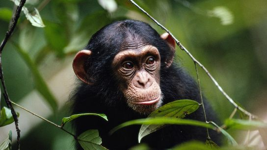 Chimpanzés atacam e expulsam outros membros do grupo que visivelmente apresentam doenças.