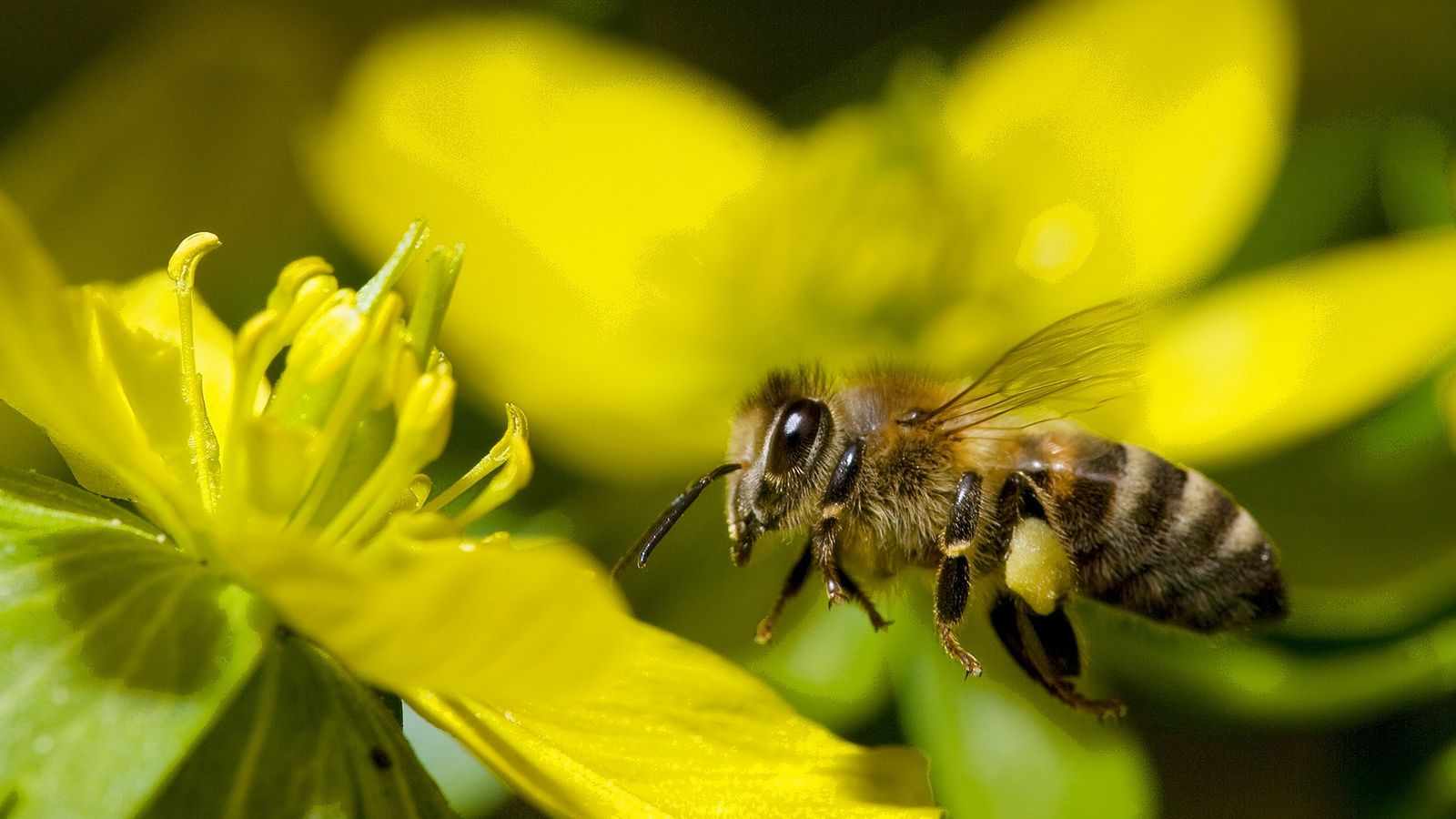 As abelhas conseguem rastrear a quantidade de pontos de referência pelos quais passaram em seus trajetos ...