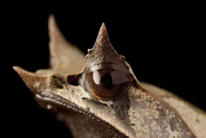 As pálpebras superiores e o nariz da rã-de-chifre-de-nariz-comprido projetam-se de forma pontuda de sua cabeça, criando ...