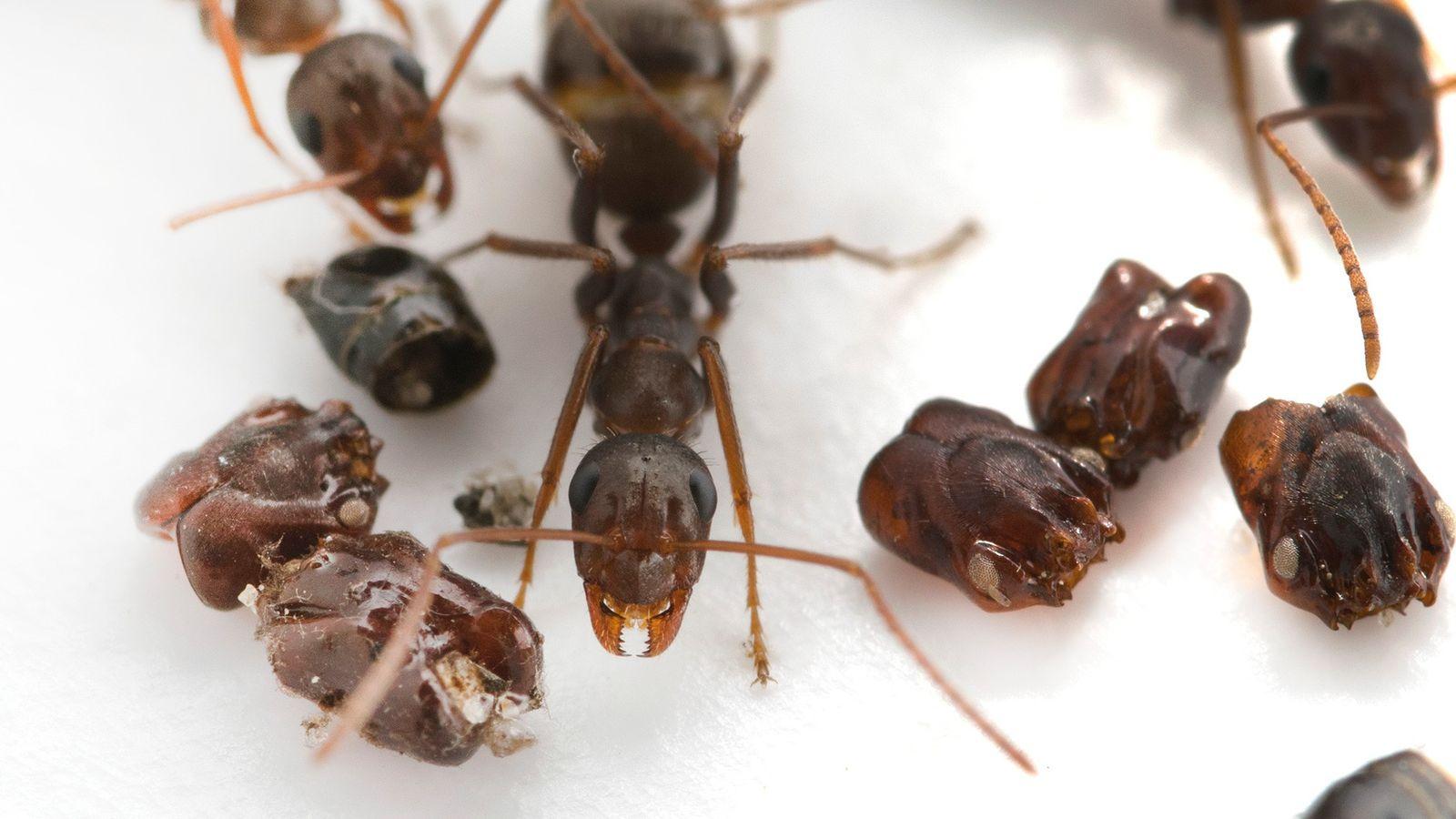 Esta formiga nativa da Flórida (Formica archboldi) recolhe as cabeças de suas inimigas—mas os cientistas ainda ...