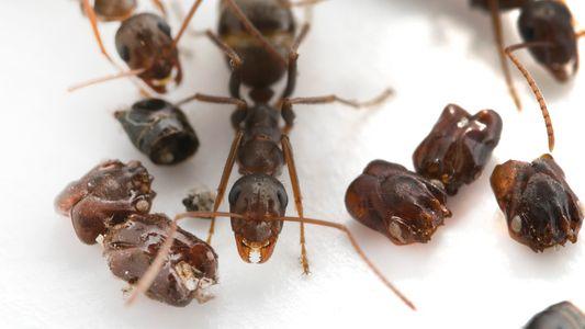 """Estas formigas usam as cabeças das """"inimigas"""" para decorarem suas casas"""